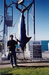 Mark Mitchell's 156 Kg Striped Marlin on a