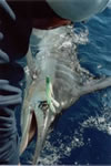 "Steve Gill with 135 Kg Striped Marlin, used a ""Little Dingo""""Lumo"" Lure, aboard Pelagic. (22kb)"