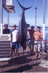 ANGLER: Andrew Maybury. SPECIES: Blue Marlin. WEIGHT: 153.4 Kg.