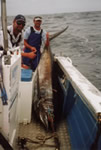ANGLER: Dave Venn. SPECIES: Blue Marlin. WEIGHT: 225 Kg.