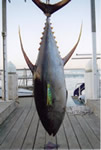 ANGLER: Luke Bruni. SPEICES: Yellowfin Tuna. WEIGHT: 66 Kg.