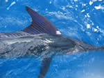 ANGLER: Adrian Loves SPECIES: Striped Marlin. WEIGHT: Est.80 Kg.