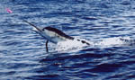 ANGLER: Andrew Barlow SPECIES: Striped Marlin WEIGHT: Est. 75 Kg