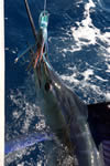 ANGLER: Daneil Tillack SPECIES: Striped Marlin WEIGHT: est. 110 Kg