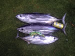 3 Stripies on a Lumo Dingo lure